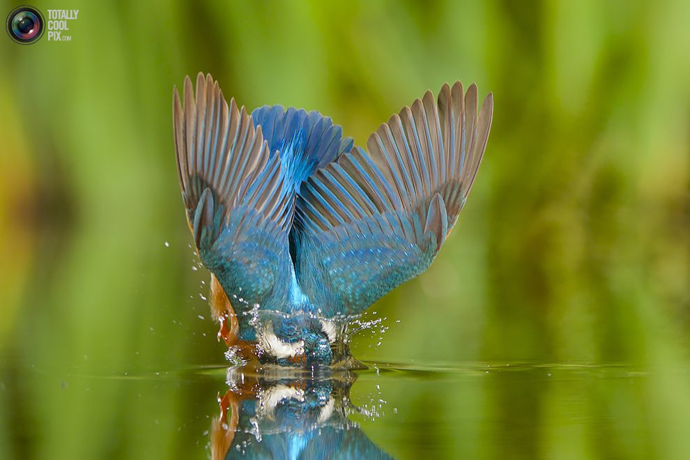 Stunning footage of catching fish by Kingfisher 10