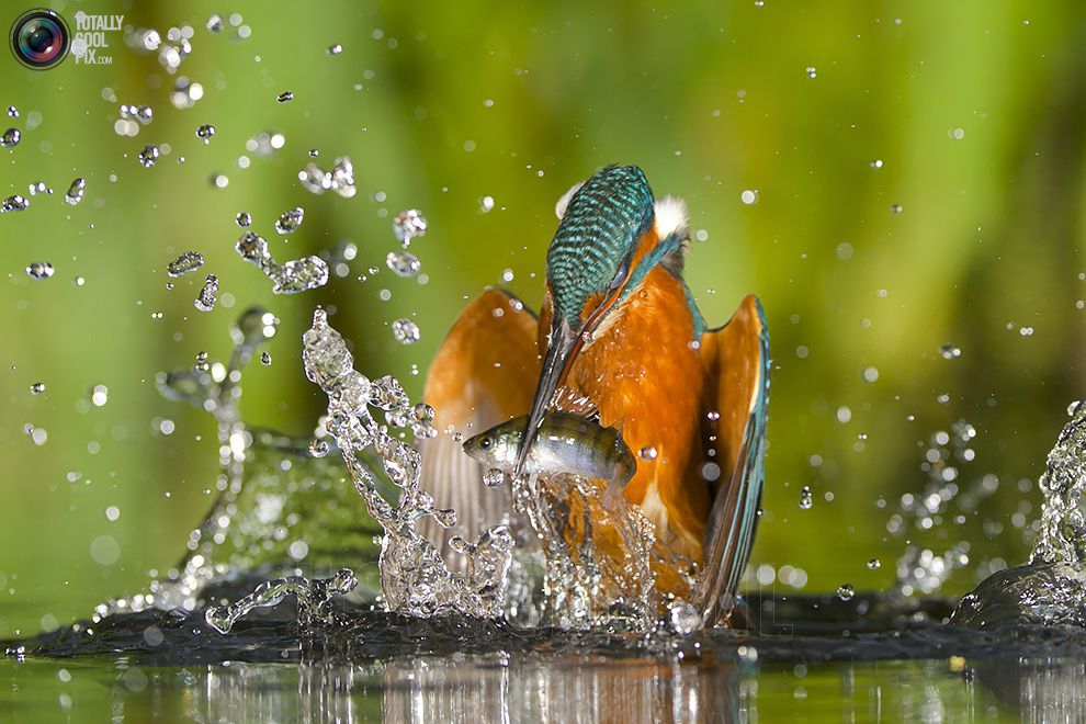 Stunning footage of catching fish by Kingfisher 11