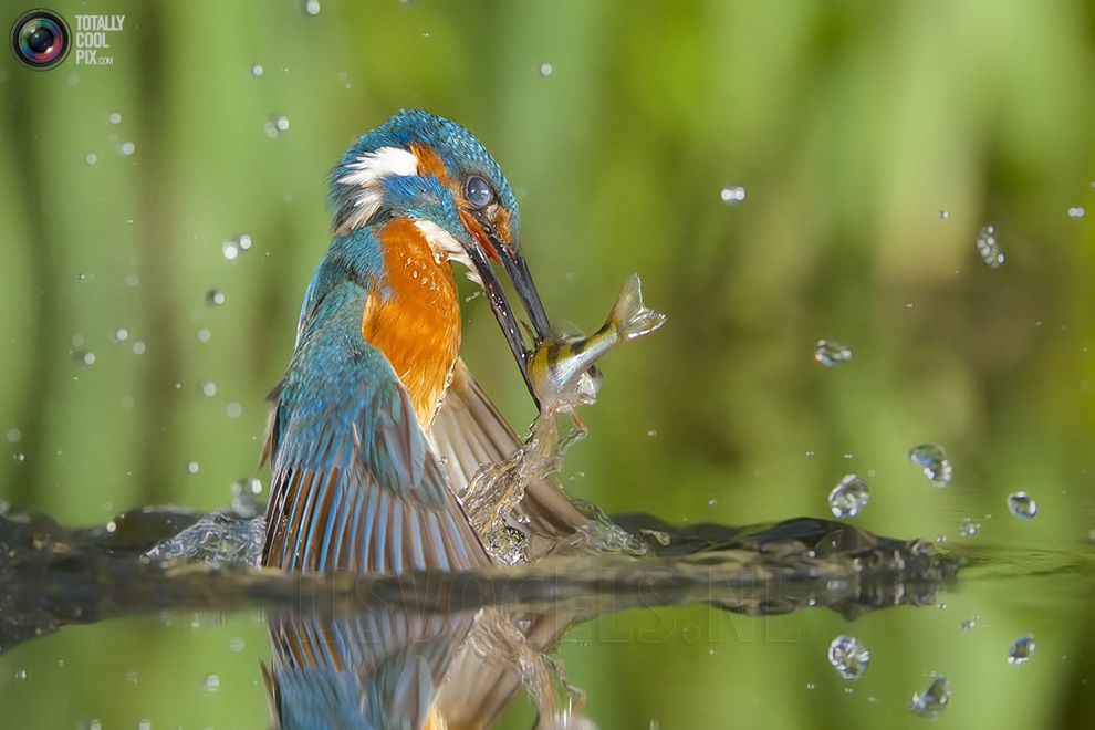Stunning footage of catching fish by Kingfisher 12