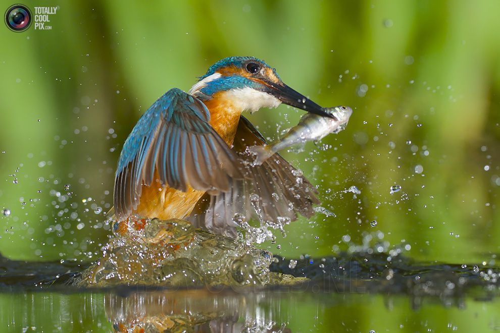 Stunning footage of catching fish by Kingfisher 13