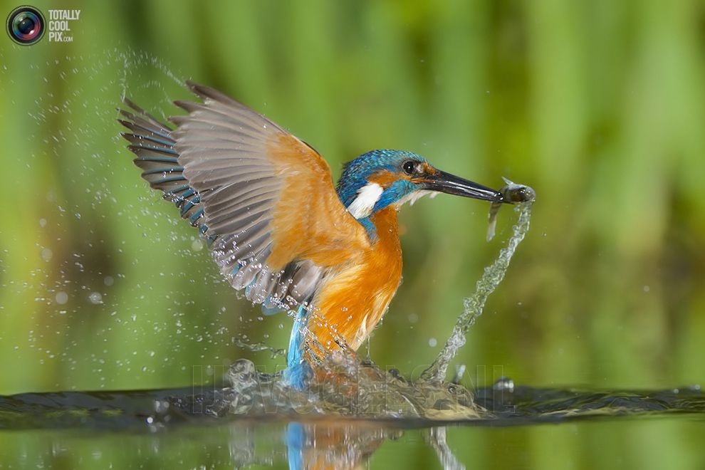Stunning footage of catching fish by Kingfisher 14