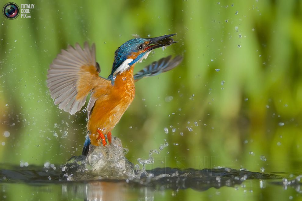 Stunning footage of catching fish by Kingfisher 15