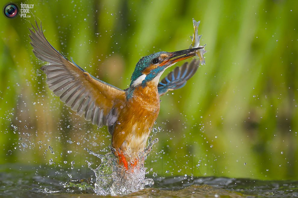 Stunning footage of catching fish by Kingfisher 16
