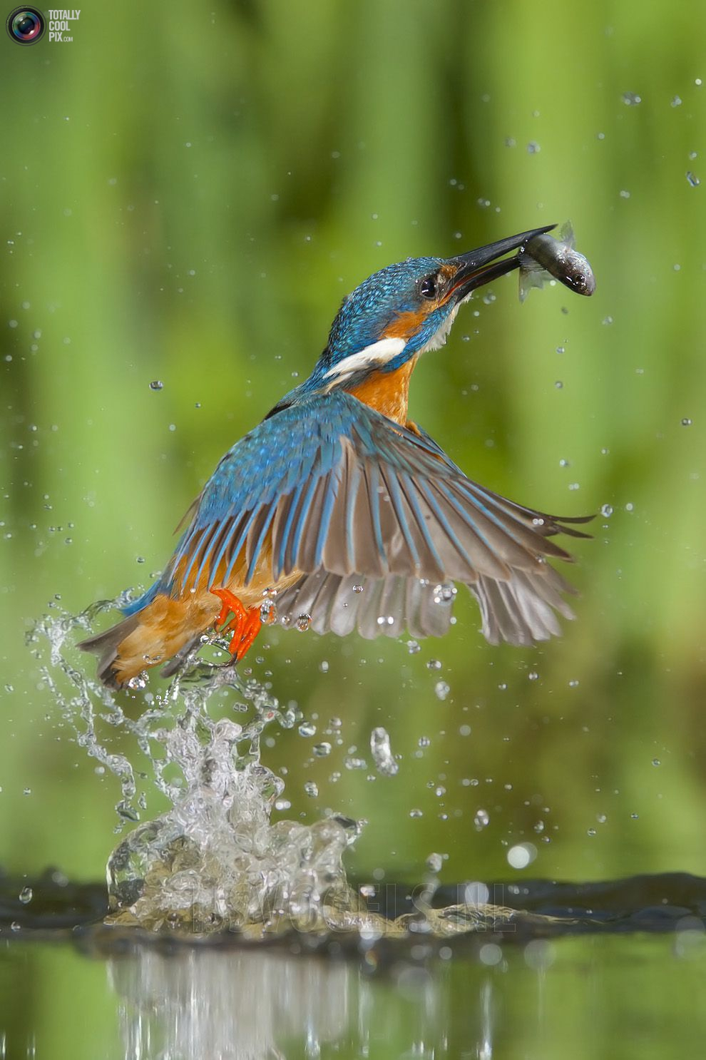 Stunning footage of catching fish by Kingfisher 17