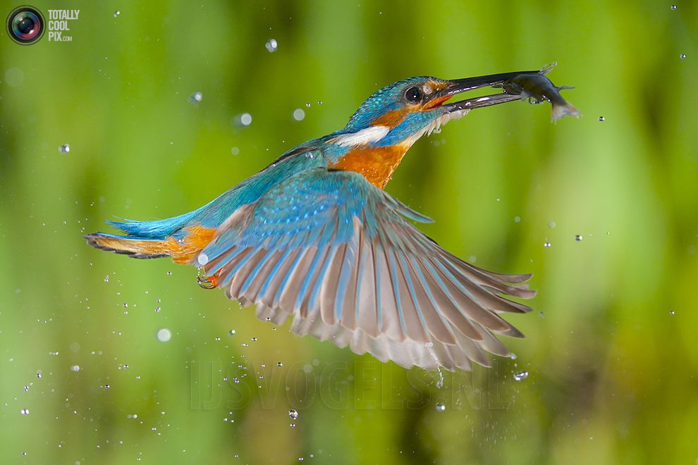 Stunning footage of catching fish by Kingfisher 18