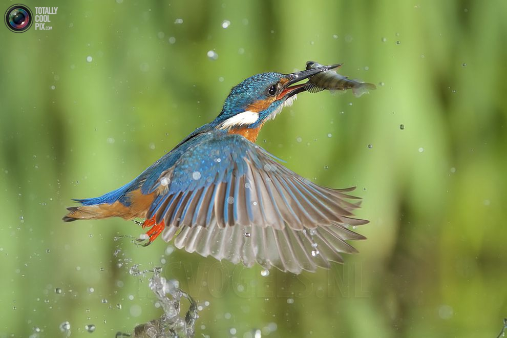 Stunning footage of catching fish by Kingfisher 19