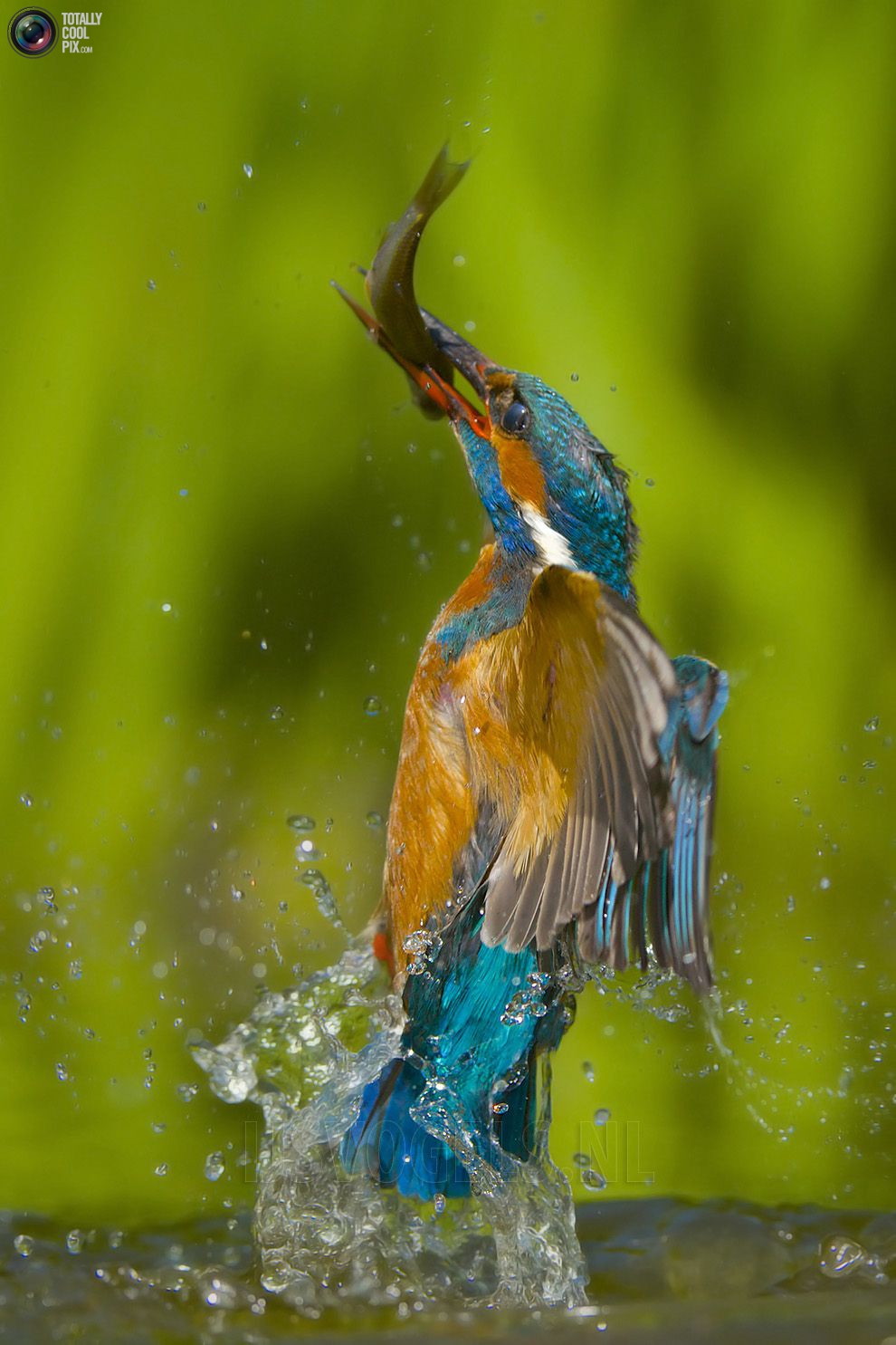 Stunning footage of catching fish by Kingfisher 21
