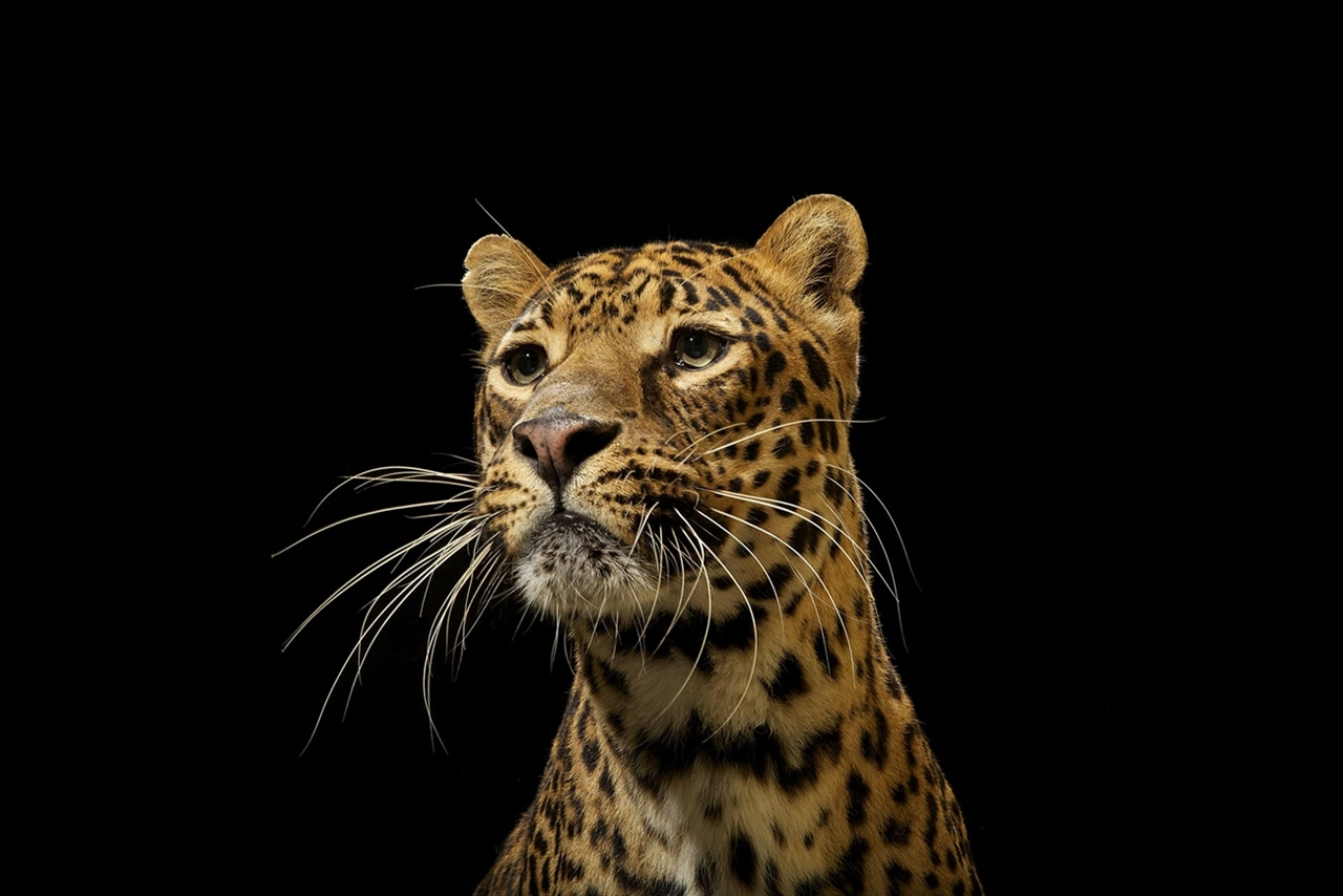 The beauty and grace of wild cats in photographs by Vincent J. Musi 02