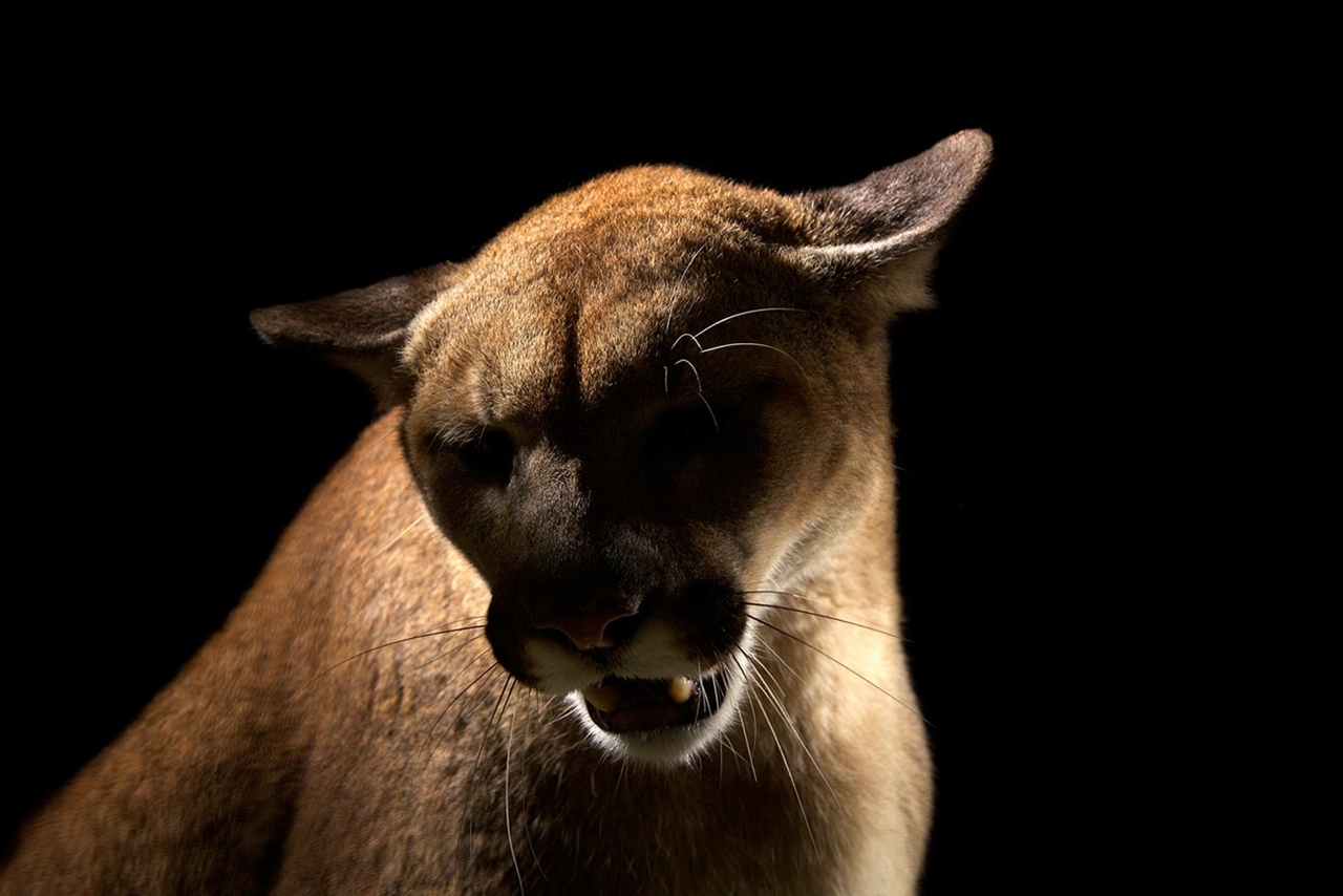 The beauty and grace of wild cats in photographs by Vincent J. Musi 08