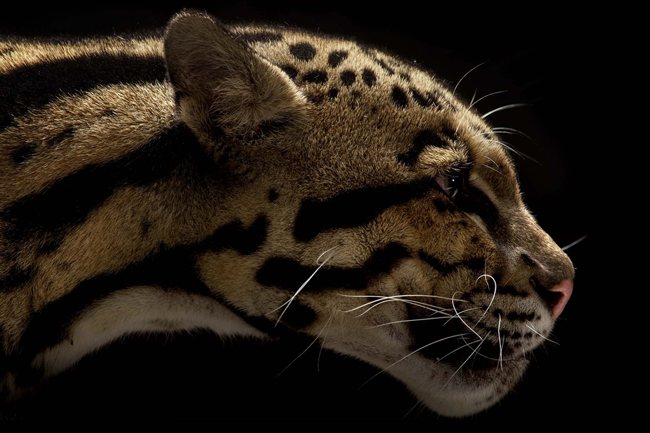 The beauty and grace of wild cats in photographs by Vincent J. Musi 09