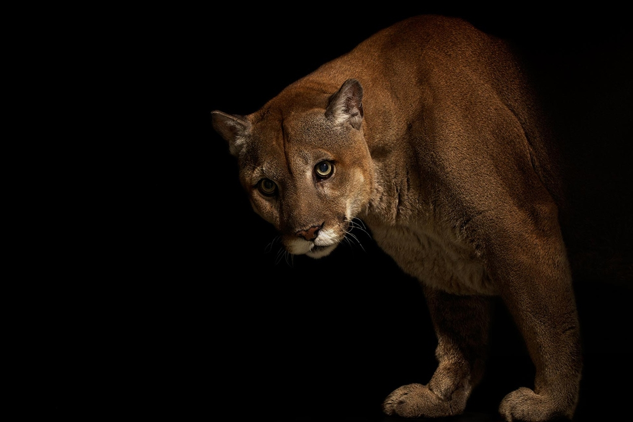 The beauty and grace of wild cats in photographs by Vincent J. Musi 11