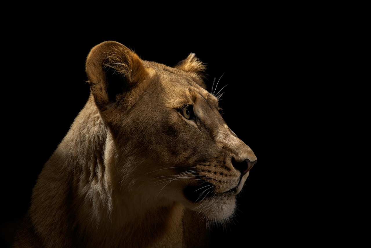 The beauty and grace of wild cats in photographs by Vincent J. Musi 16