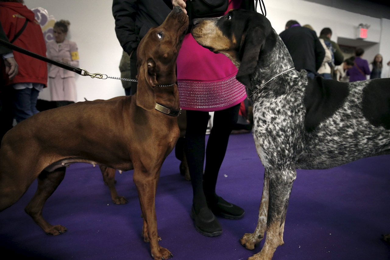 2016 Westminster Kennel Club Dog Show 13