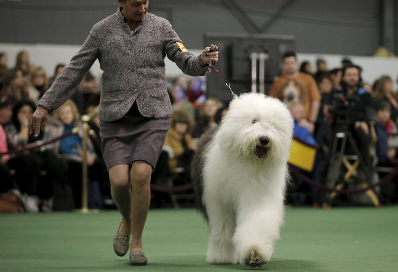 2016 Westminster Kennel Club Dog Show 15