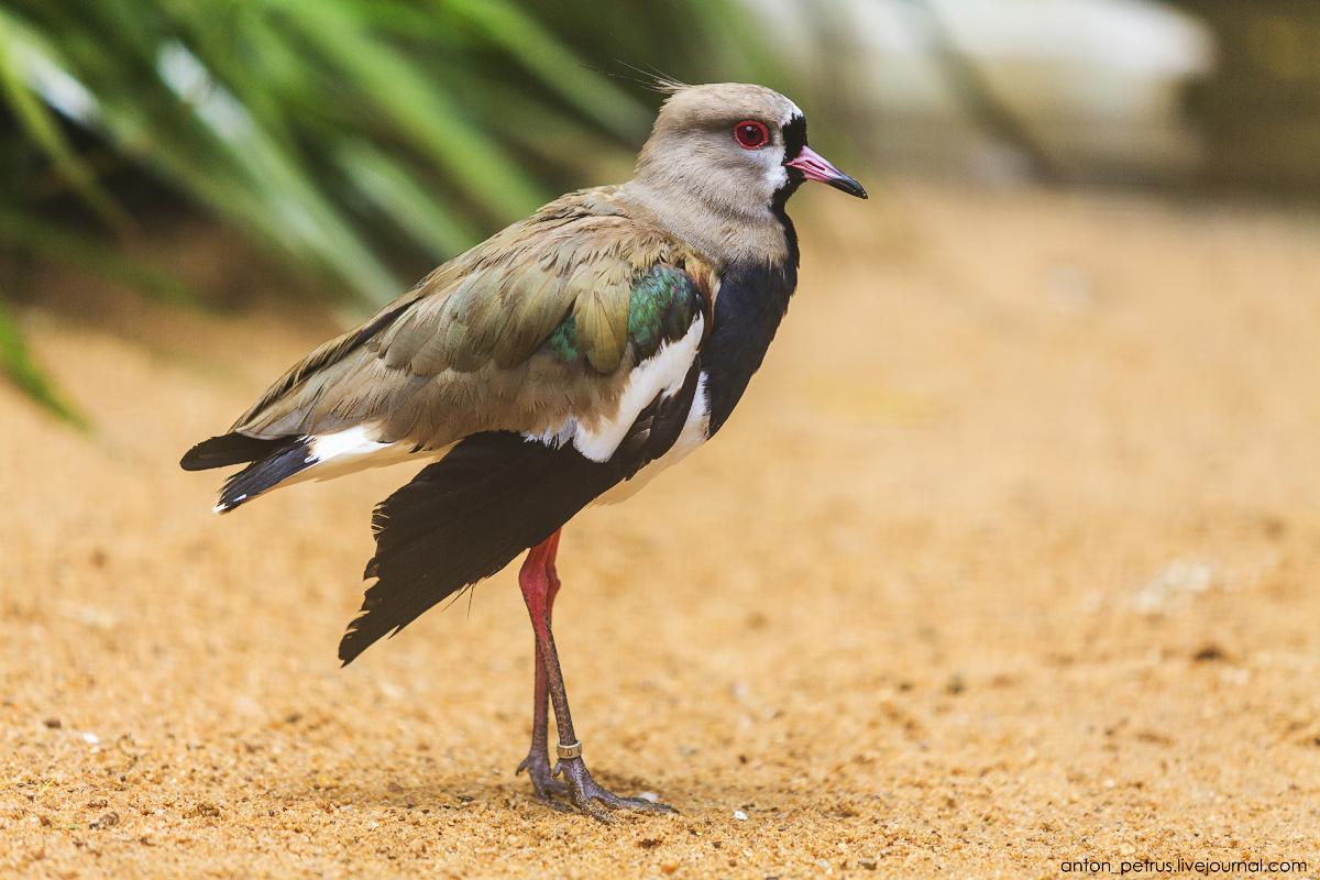 Bird Paradise. Braziliya 02