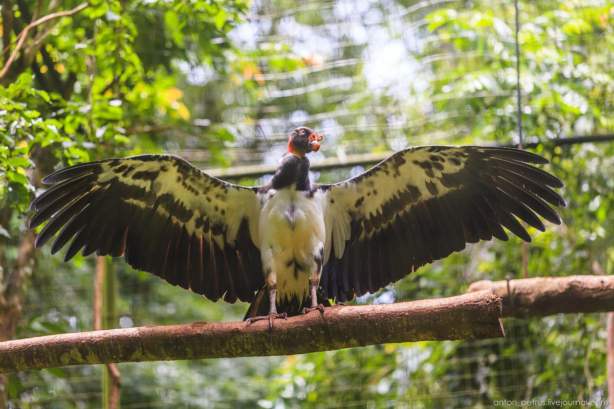 Bird Paradise. Braziliya 12
