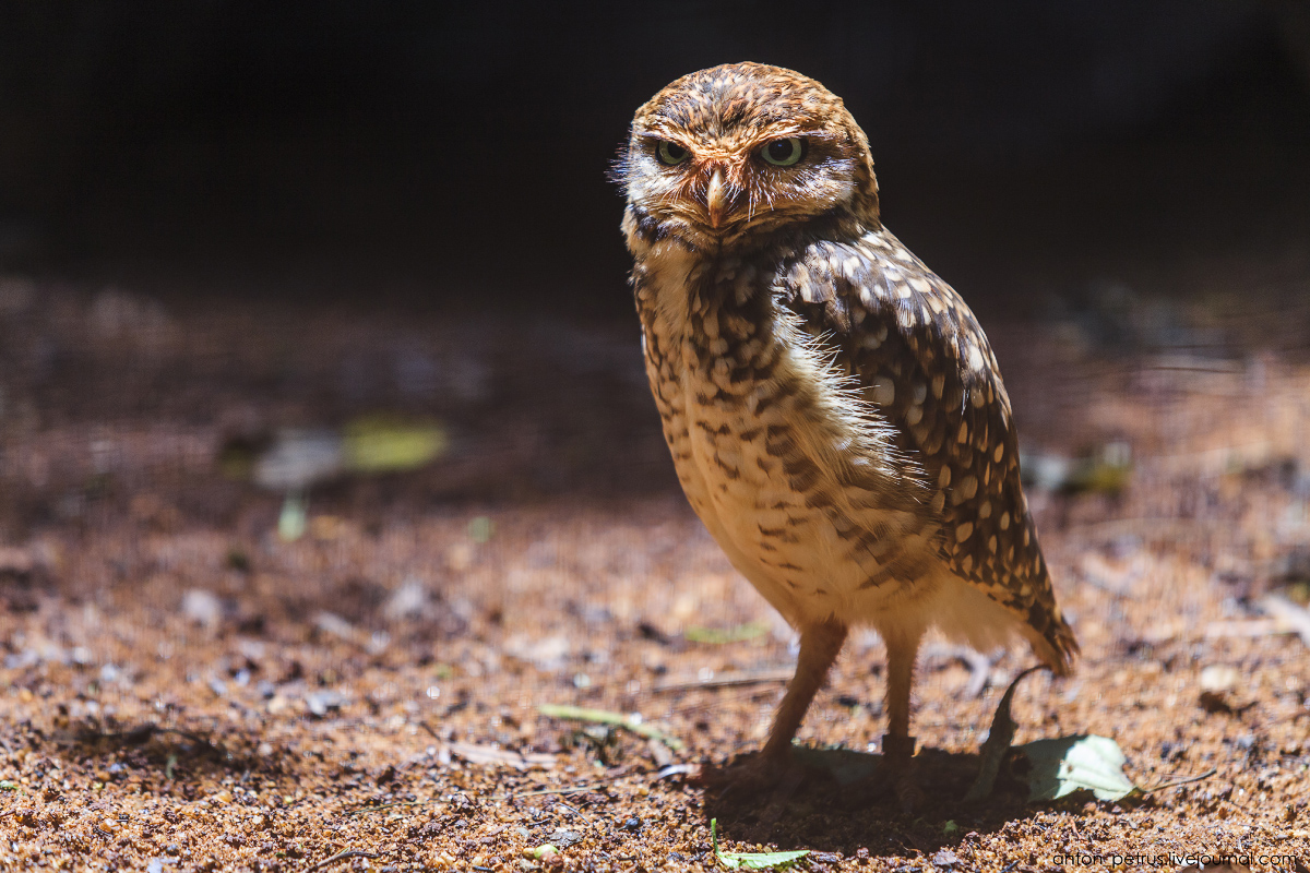 Bird Paradise. Braziliya 18