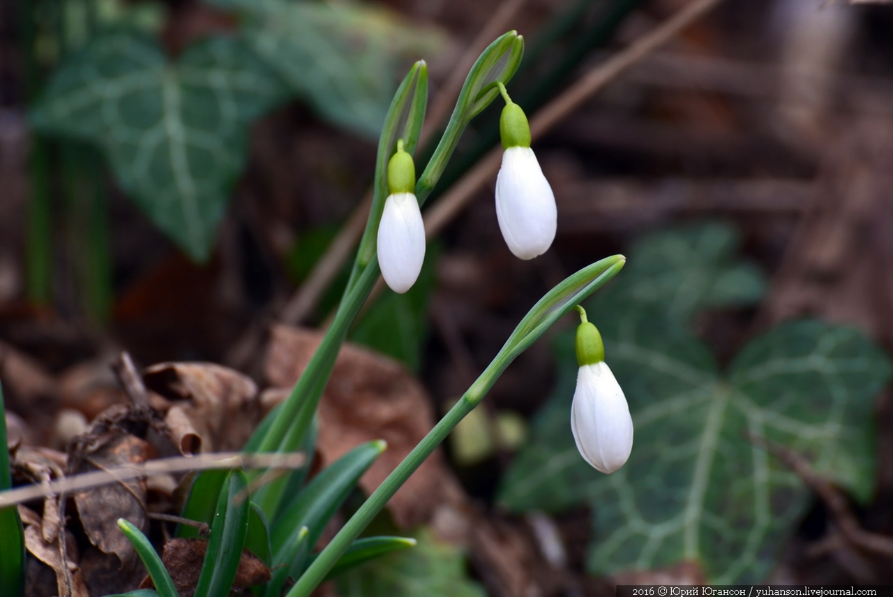 First snowdrops of Sevastopol 01
