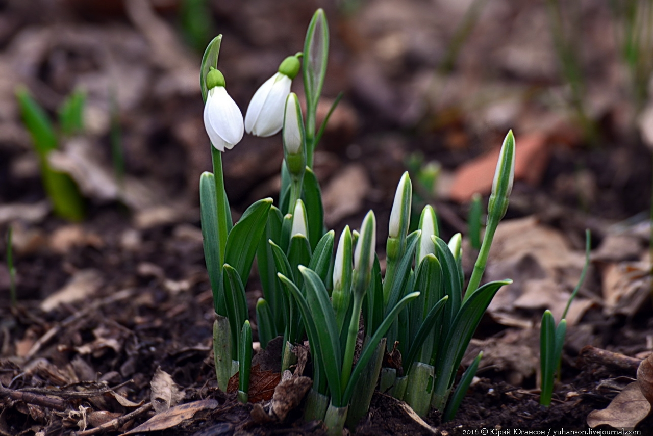 First snowdrops of Sevastopol 02