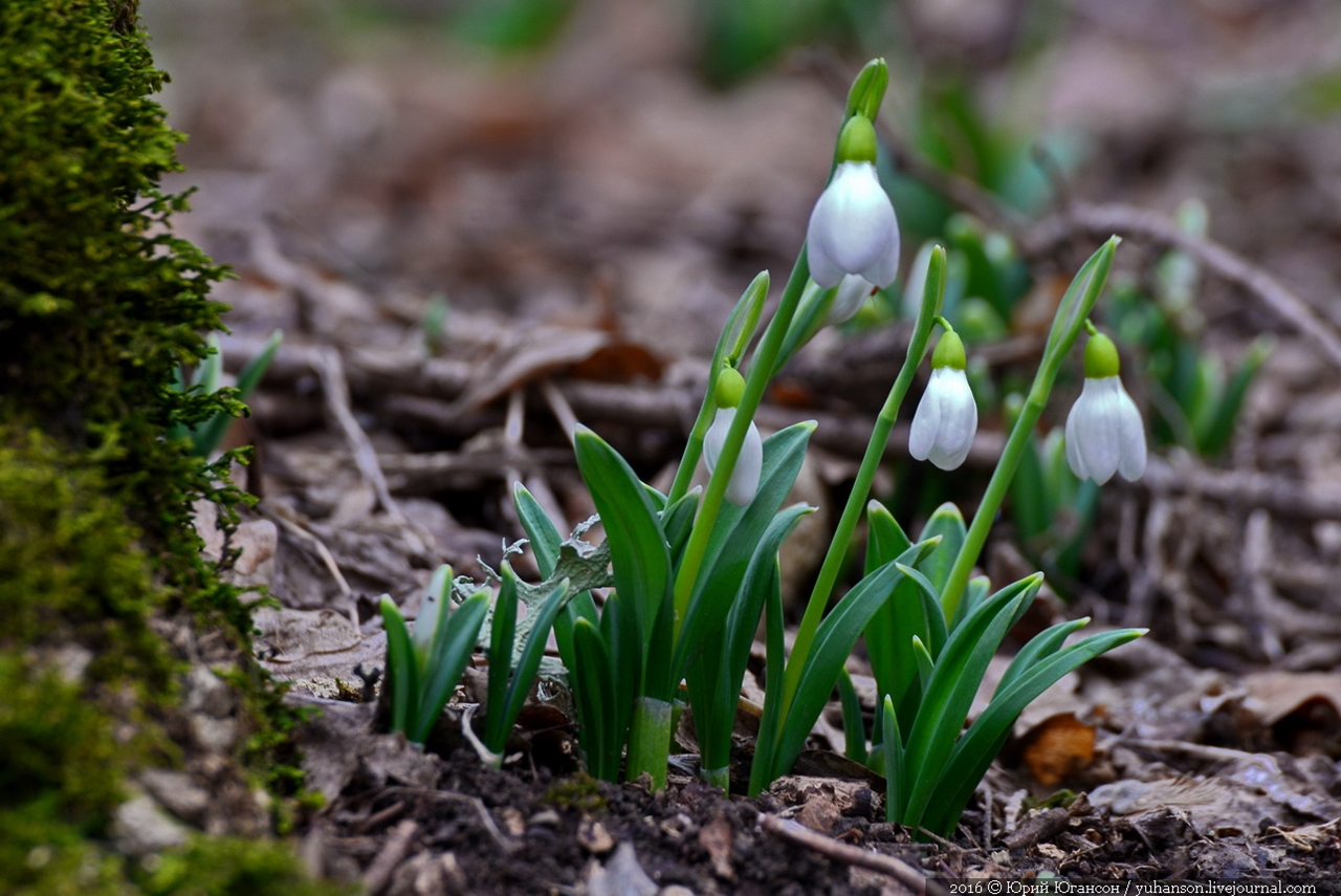 First snowdrops of Sevastopol 03