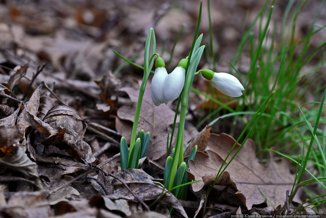 First snowdrops of Sevastopol 04