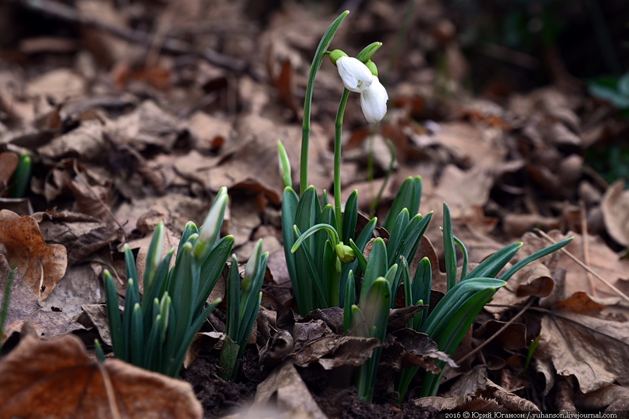 First snowdrops of Sevastopol 05