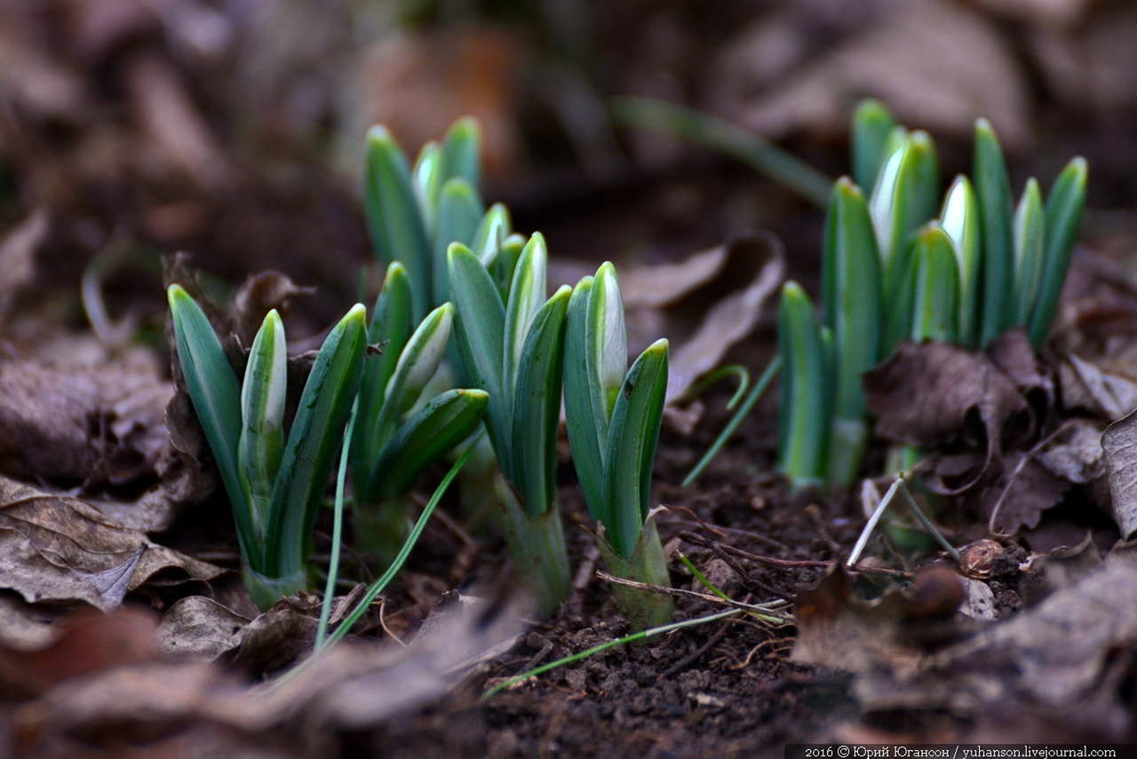 First snowdrops of Sevastopol 06