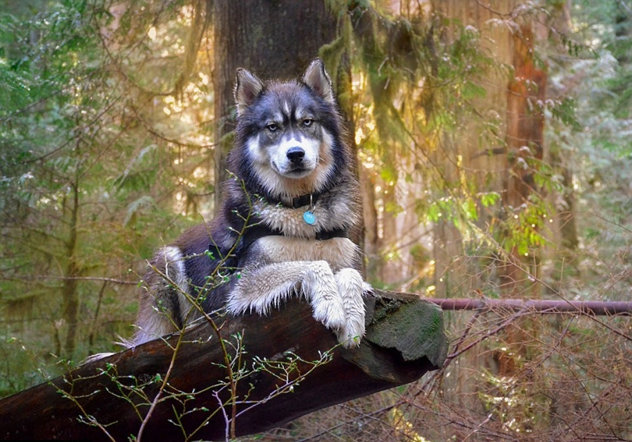 Goldilocks and the wolf 02