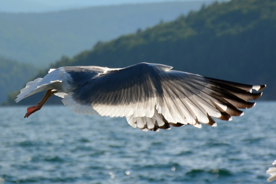 Gulls Of Lake Baikal 01