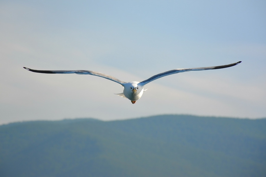 Gulls Of Lake Baikal 05