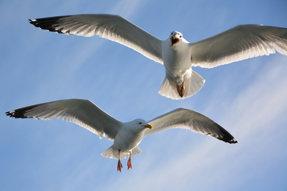 Gulls Of Lake Baikal 06