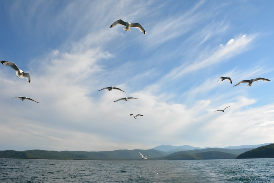 Gulls Of Lake Baikal 09
