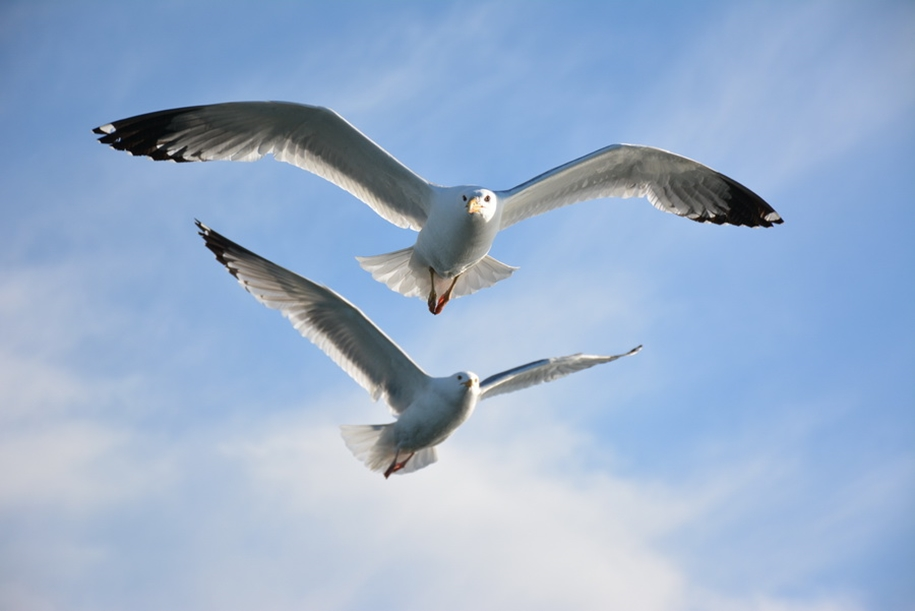Gulls Of Lake Baikal 10