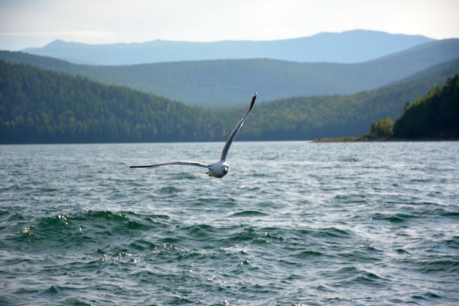 Gulls Of Lake Baikal 11