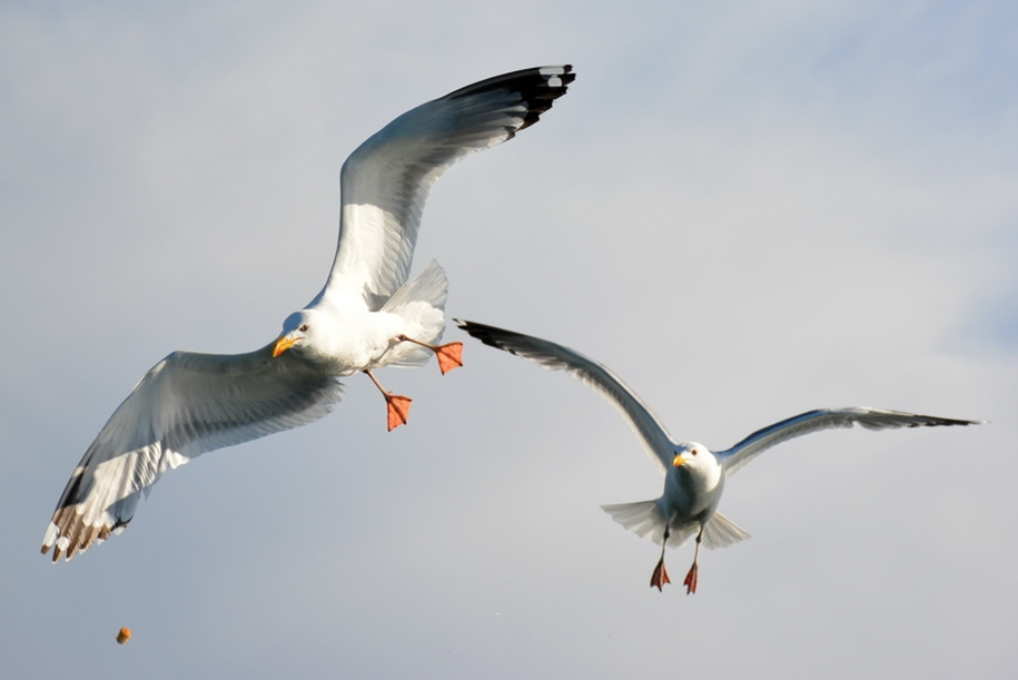 Gulls Of Lake Baikal 12