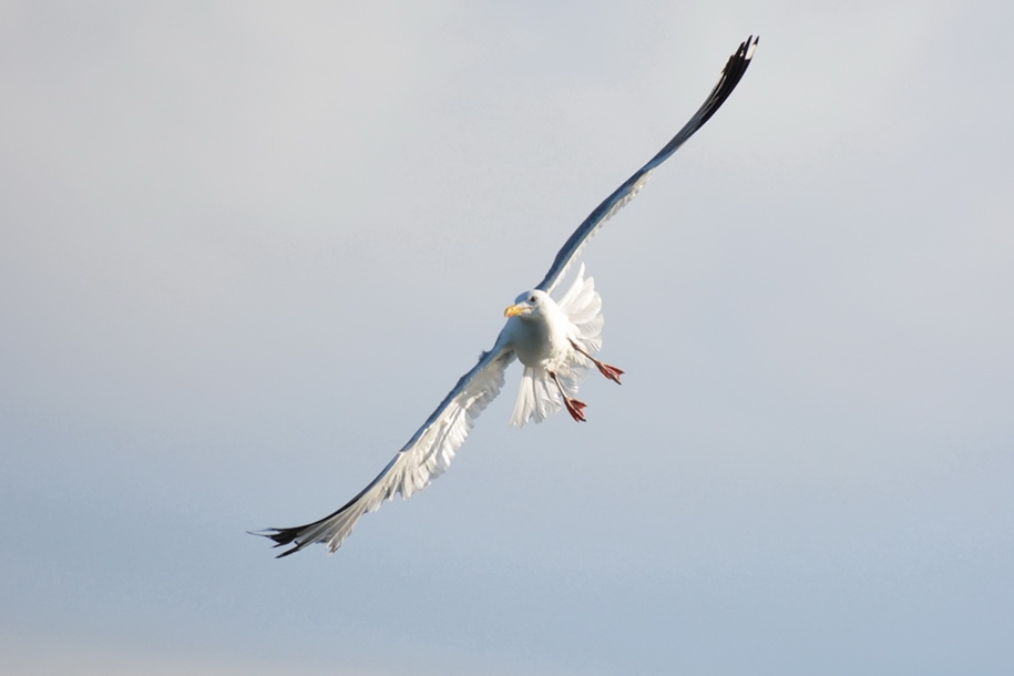 Gulls Of Lake Baikal 13
