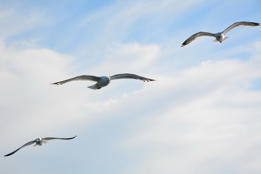 Gulls Of Lake Baikal 17