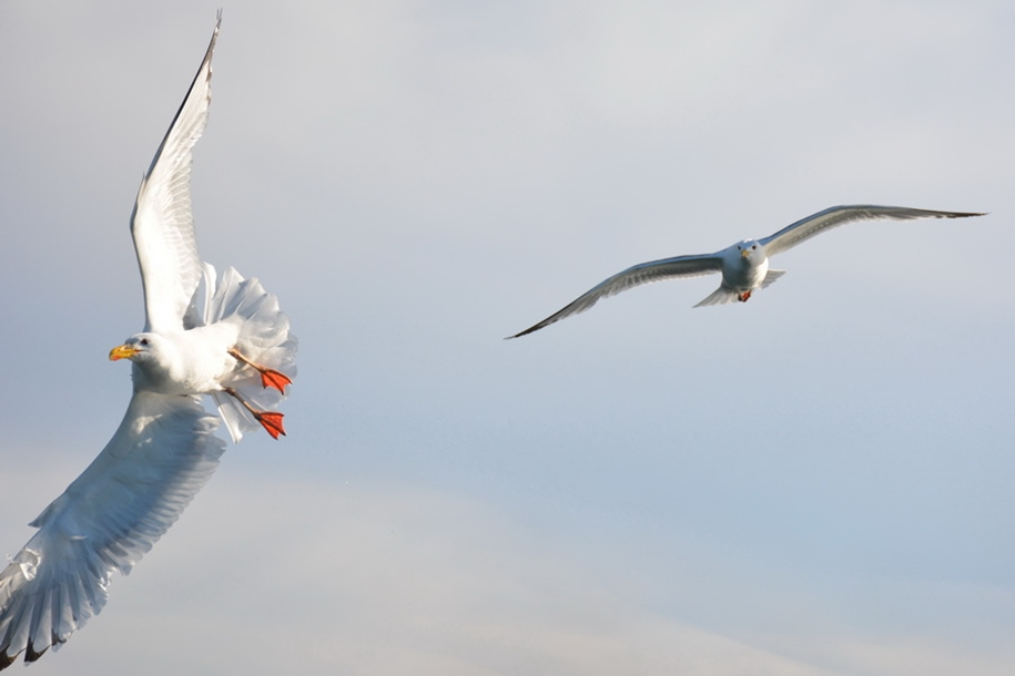 Gulls Of Lake Baikal 19