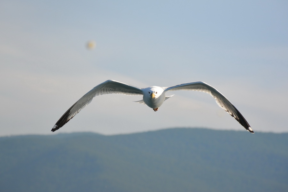Gulls Of Lake Baikal 20