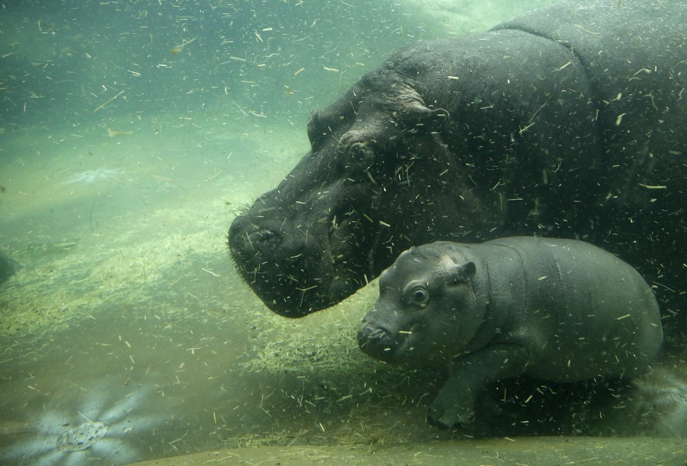 In the Prague zoo-born Hippo 01