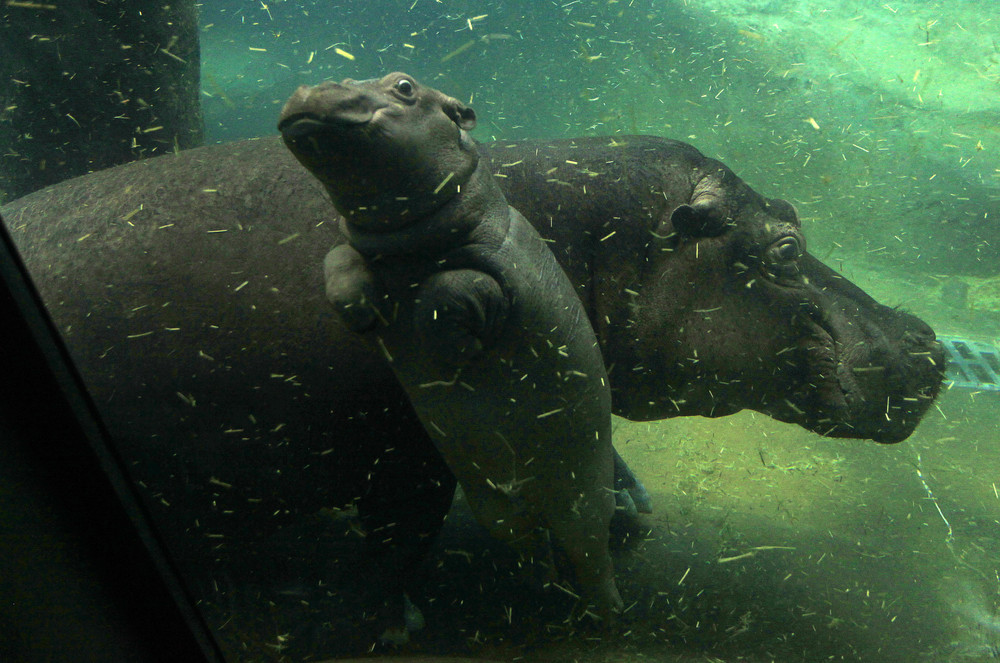 In the Prague zoo-born Hippo 08