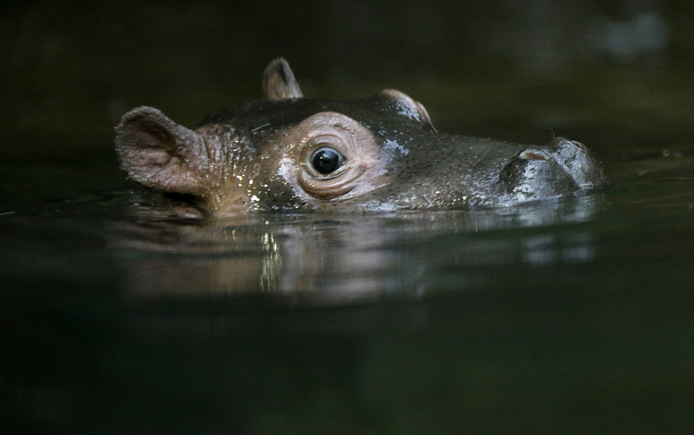 In the Prague zoo-born Hippo 10