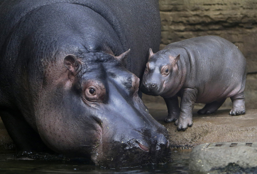 In the Prague zoo-born Hippo 11