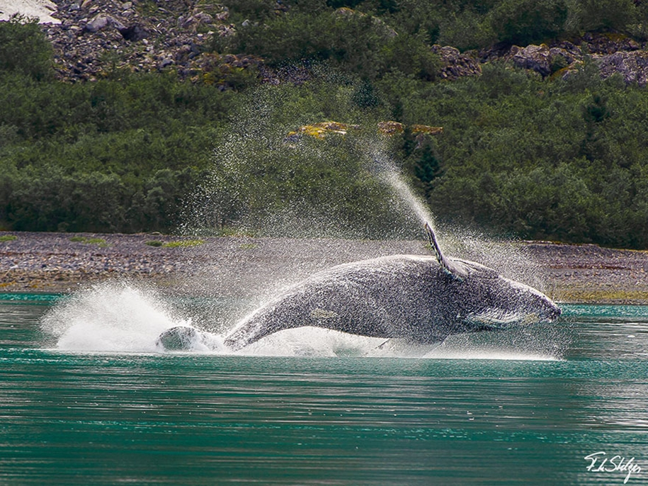 Majestic photos of whales 30