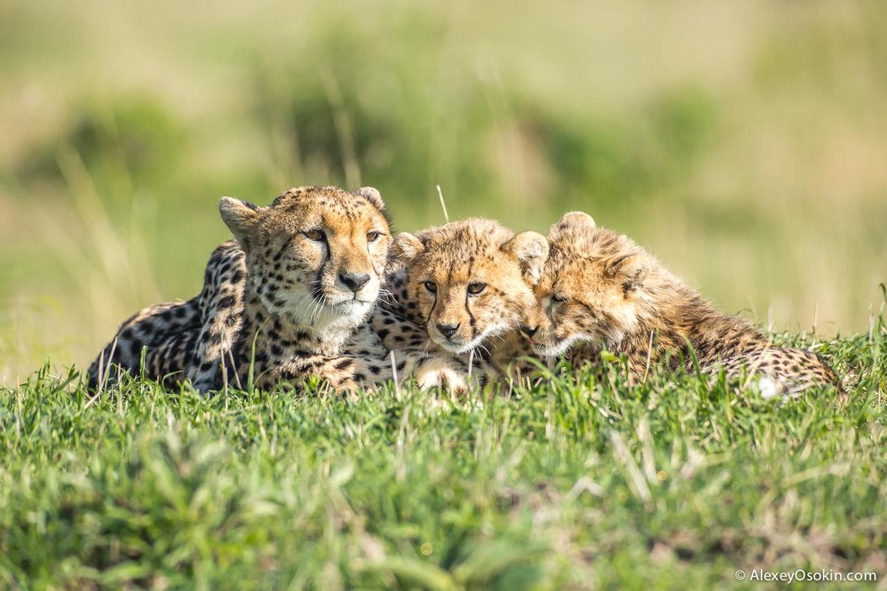 Жизнь гепарда Имани и ее детей