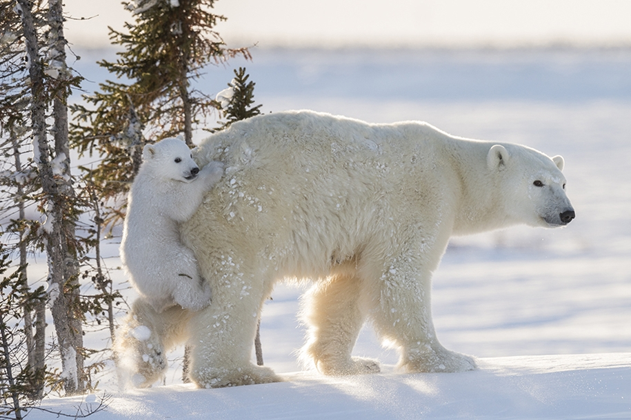 Photo hunting on polar bears took 117 hours in 50-degree frost 01