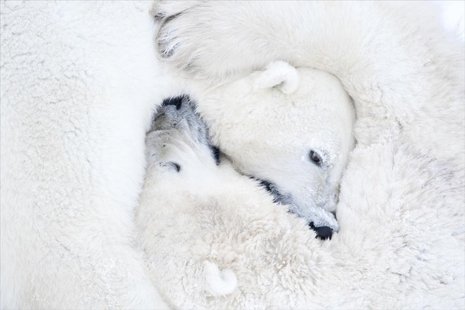 Photo hunting on polar bears took 117 hours in 50-degree frost 02
