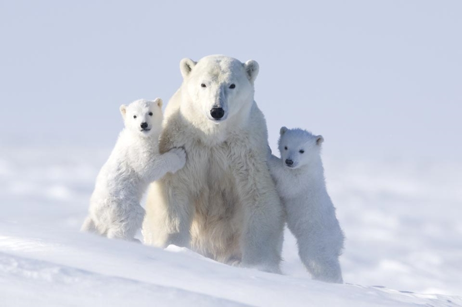 Photo hunting on polar bears took 117 hours in 50-degree frost 04