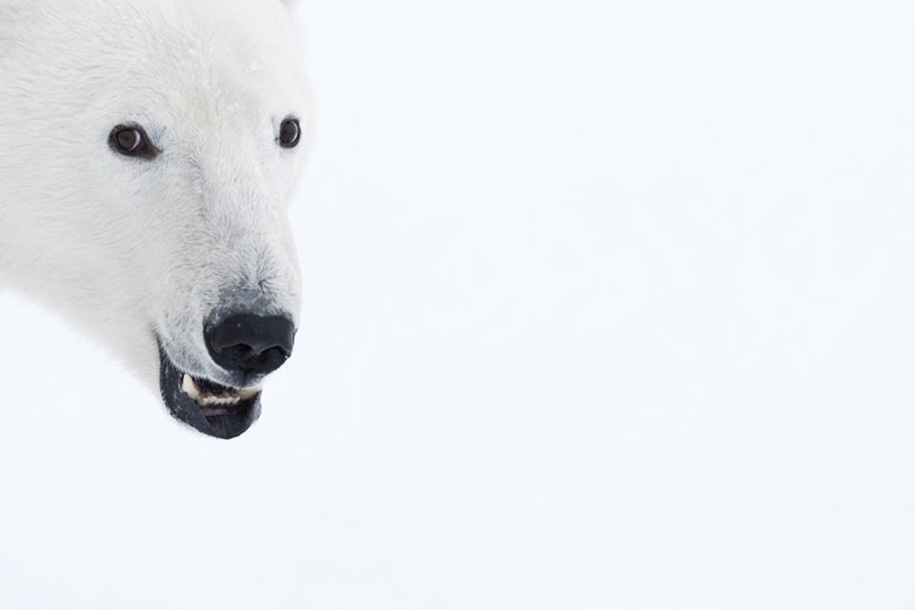 Photo hunting on polar bears took 117 hours in 50-degree frost 05