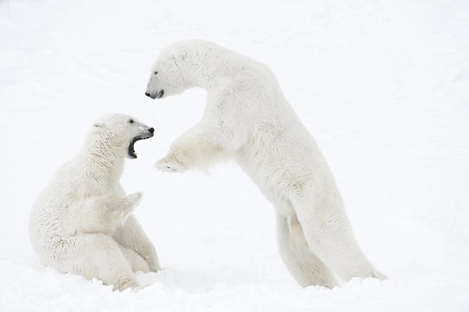 Photo hunting on polar bears took 117 hours in 50-degree frost 06